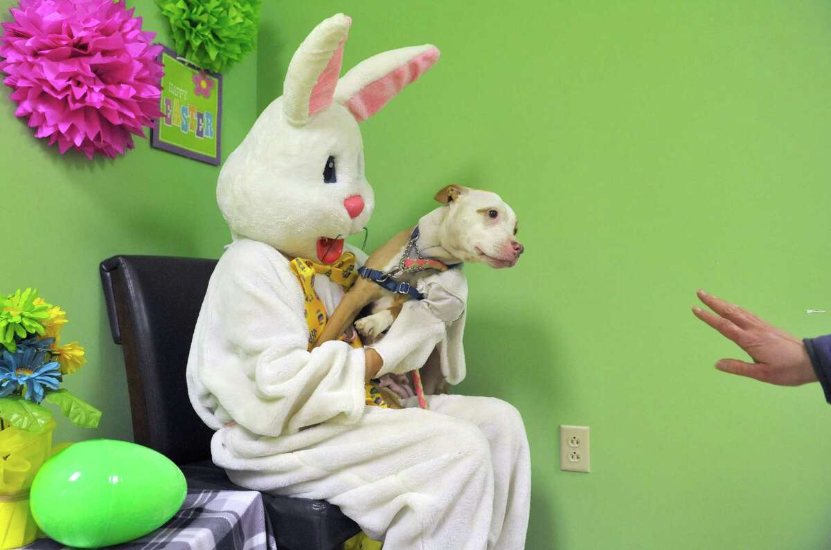 Robin a 7-year-old bull terrier from the Mohawk Hudson Humane Society, is placed on the lap of Lisa Muscatello, who plays the part of the Easter Bunny during a photography fund raising event at Pet Spas and Suites on Sunday, March 15, 2015, in Colonie, N.Y. Robin is available for adoption. (Paul Buckowski / Times Union)