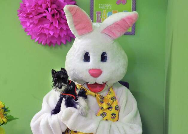 Lisa Muscatello, playing the part of the Easter Bunny, holds Lester from Latham for a photo during a fund raising event at Pet Spas and Suites on Sunday, March 15, 2015, in Colonie, N.Y. (Paul Buckowski / Times Union) Photo: PAUL BUCKOWSKI / 00031042A