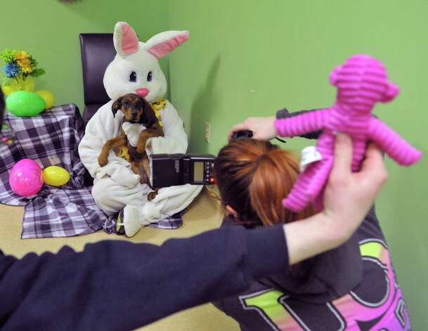Cody Wasial, foreground, who runs Cody's Cozy Pals, takes photographs of Lisa Muscatello playing the part of the Easter Bunny and Cennedy, a hound mix from Cohoes, during a fund raising event at Pet Spas and Suites on Sunday, March 15, 2015, in Colonie, N.Y.   (Paul Buckowski / Times Union) Photo: PAUL BUCKOWSKI / 00031042A