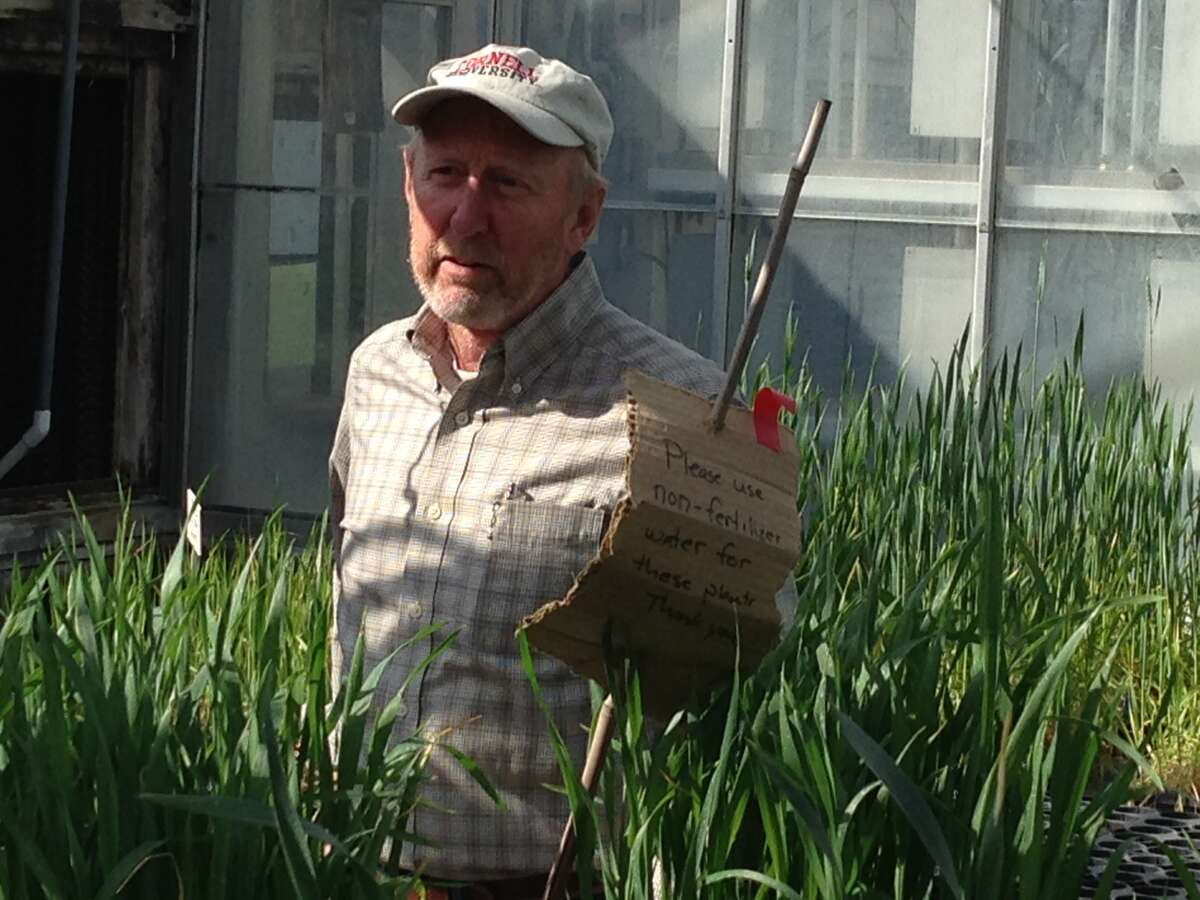 Mark Sorrells, chairma of Cornell Unversity's depment of plant breeding and genetics, looks over a test bed of barley last fall. Hs is part of research to find the best vareity of barley to grow in the state to support growth in microbreweries and distilleries.