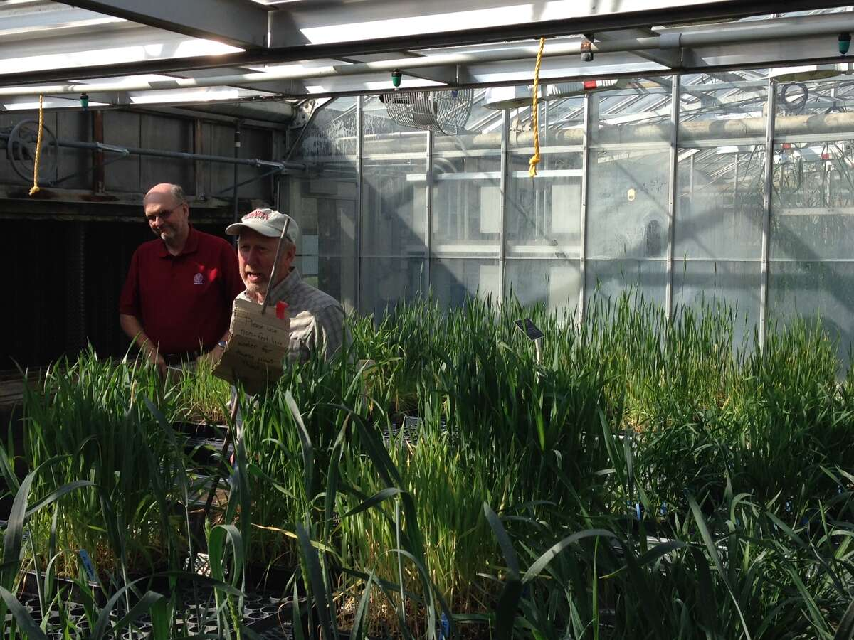 Mark Sorrells, chairman of plant breeding and genetics at Cornell University (right) and Gary Bergstrom, a plant pathologist at Cornell, look over test beds for barley. The two are looking at ways to increase the state's barley crop to help support growth in the microbrewery and distillery business.