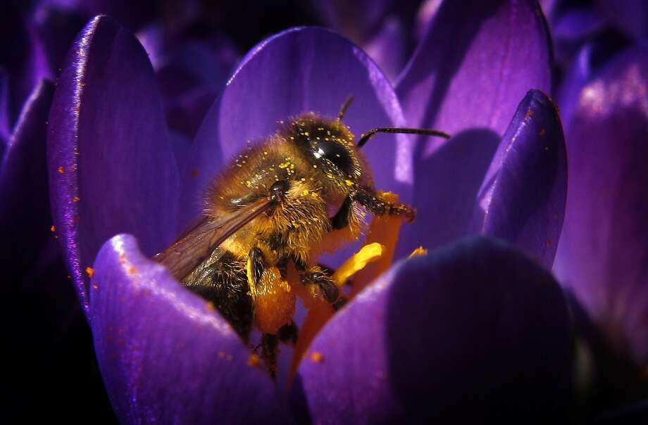 A bee collects pollen from a crocus blossom on March 15, 2015 in Kaufbeuren, southern Germany.  Photo: Karl-josef Hildenbrand, AFP / Getty Images
