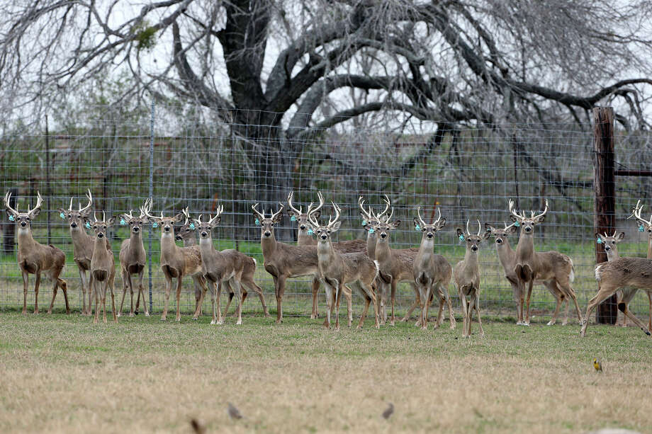Younger bucks herd together in a pen at a deer-breeding operation in Karnes County. A reader decries the practices of some deer breeders in Texas. Photo: Tom Reel /San Anrtonio Express-News
