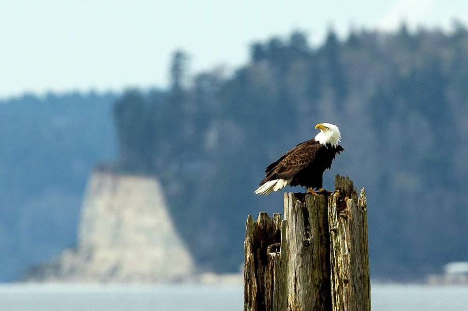A bald eagle is pictured near Everett in a 2014 file photo. Shane Moses, 45, of Marysville, killed two bald eagles he found floating in Puget Sound nearby in December 2013. Moses has since pleaded guilty to related federal offenses. Photo: JORDAN STEAD, SEATTLEPI.COM / SEATTLEPI.COM