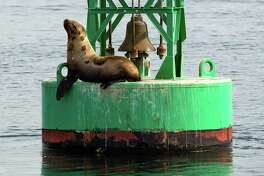 A Steller seal relaxes in the sun as seen on a tour provided by Island Adventures Tuesday, March 17, 2015, near Everett, Washington. Every year, migrating gray whales make a journey from the Baja Peninsula to Alaska. The hungry whales stop to feed in the calm protected waters of the Saratoga passage, close to Everett, and leave by the beginning of May.