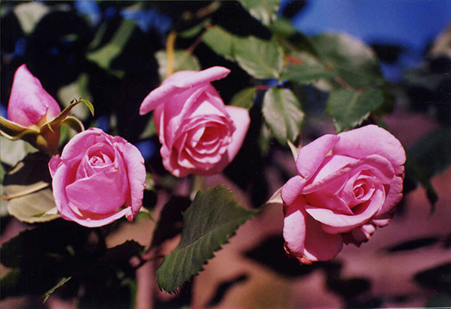 'Belinda's Dream' is a perfectly formed pink rose that requires little special care in the landscape. It also makes a nice cut flower. Photo: Courtesy Texas Superstar Plants