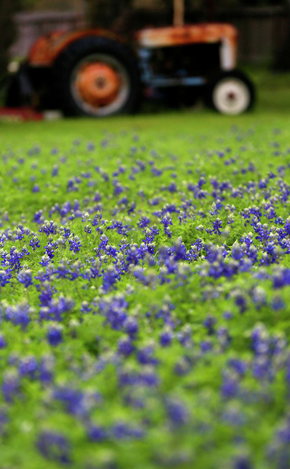 Bluebonnets bloom in a field Tuesday March 17, 2015 near an old tractor on the 13,000 block of Jones Maltsberger. The first day of spring is Friday March 20, 2015. Recent rainfall has area flowers and trees blooming.