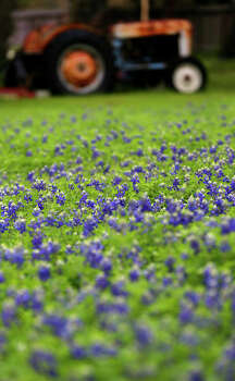 Bluebonnets bloom in a field Tuesday March 17, 2015 near an old tractor on the 13,000 block of Jones Maltsberger. The first day of spring is Friday March 20, 2015. Recent rainfall has area flowers and trees blooming. Photo: John Davenport /San Antonio Express-News / ©San Antonio Express-News/John Davenport