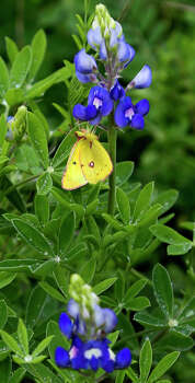 A butterfly clings Tuesday March 17, 2015 to a bluebonnet blossom on the 13,000 block of Jones Maltsberger. The first day of spring this year is Friday March 20. Photo: John Davenport, Staff / San Antonio Express-News / ©San Antonio Express-News/John Davenport