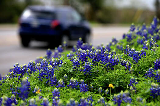 A car passes a field of bluebonnets Tuesday March 17, 2015 on the 13,000 block of Jones Maltsberger. The first day of spring this year is Friday March 20. Photo: John Davenport /San Antonio Express-News / ©San Antonio Express-News/John Davenport