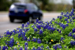 A car passes a field of bluebonnets March 17 on the 13,000 block of Jones Maltsberger on San Antonio's North Side.