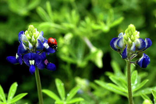 A ladybug crawls on a budding bluebonnet Tuesday March 17, 2015 in a field on the 13,000 block of Jones Maltsberger. The first day of spring this year is Friday March 20. Photo: John Davenport /San Antonio Express-News / ©San Antonio Express-News/John Davenport