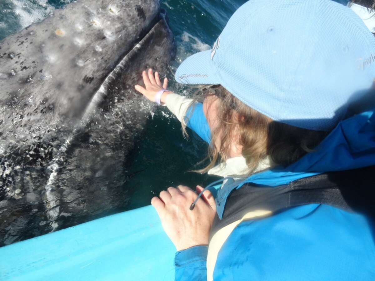 Gray whales, mothers and young, often allow themselves to be petted by whale watchers in Baja's Laguna San Ignacio. The whales mate and give birth in the salty, 220,000 acre lagoon, and then migrate 4,000 miles up the Pacific Coast to feeding grouns in Alaska's Bering Strait and Chukchi Sea.