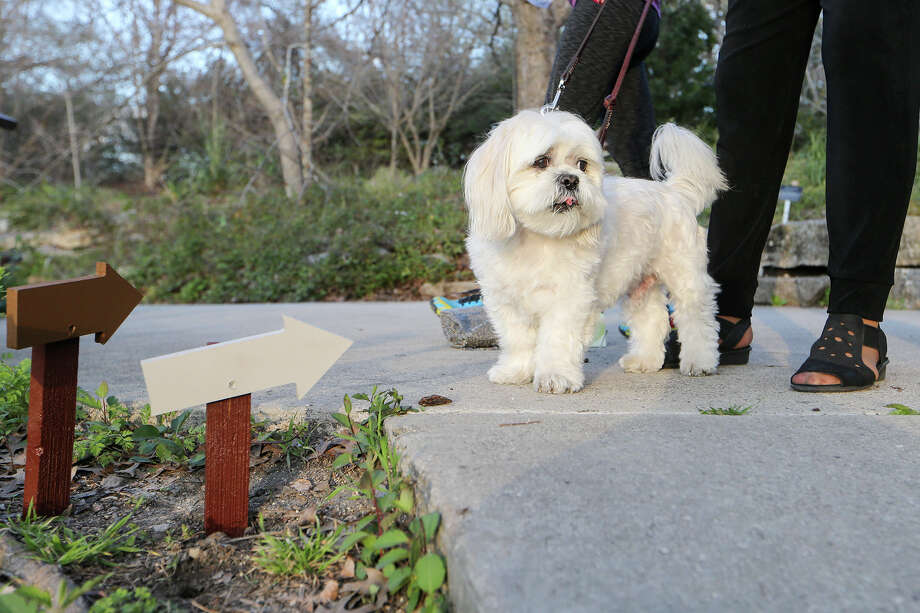 Gizmo, a 12-year-old Shih Tzu mixed with Lahso Apso, was one of the 15 tour guides in the spring 2015 Art in the Garden installment at the San Antonio Botanical Garden. The exhibits were presented by the Blue Star Contemporary Art Museum. Photo: Express-News File Photo / Express-News 2015