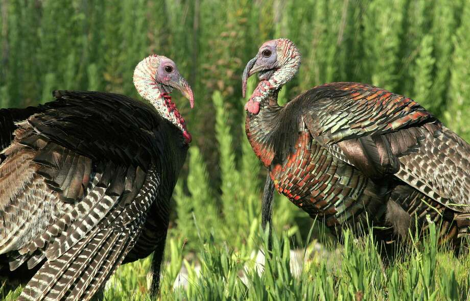 Texas turkey hunters heading afield for the 2015 spring season could see a high number of long-bearded, 3-year-old gobblers, courtesy of a very successful turkey hatch in 2012. Photo: Picasa