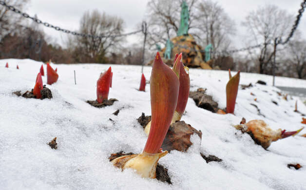 Snow partially covers tulips emerging in Washington Park on a snowy spring day in Albany, NY on March 21, 2011. (Lori Van Buren / Times Union) Photo: Lori Van Buren, Albany Times Union / 00012407A
