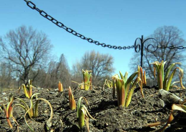 Tulip bulbs sprouting up through the soil in Wasington Park on Thursday March 19, 2015 in Albany, N.Y.  (Michael P. Farrell/Times Union) Photo: Michael P. Farrell, Albany Times Union / 00030967A