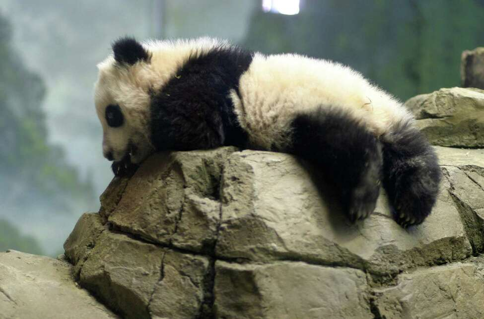 The first public viewing day for Tai Shan, the baby panda, at The National Zoo. PICTURED: Tai Shan lays on his stomach as crowds of people watch him.