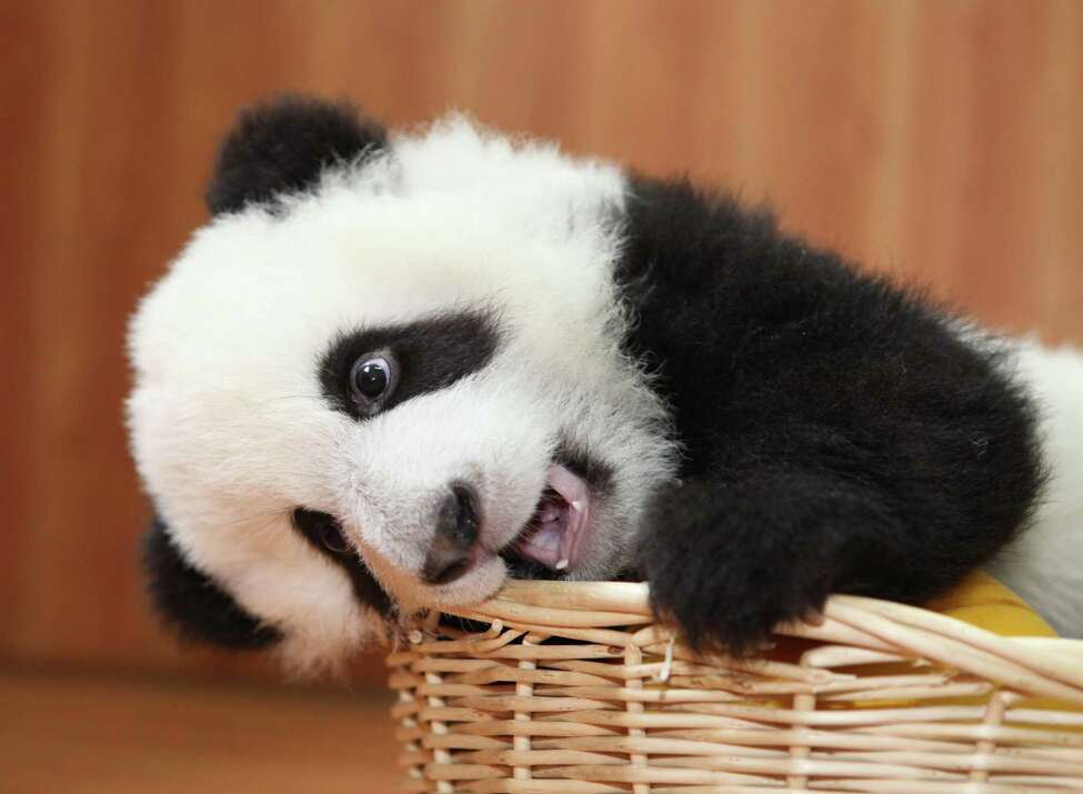 A baby panda plays with new year gifts provided by keepers at Ya'an Bifengxia Base of China Conservation and Research Centre for the Giant Panda on December 28, 2011 in Ya an, China. As the world's largest panda park Bifengxia playsan important role in the protection and breeding programs for an animal which remains one of the world's most endangered species. (Photo by ChinaFotoPress/Getty Images)
