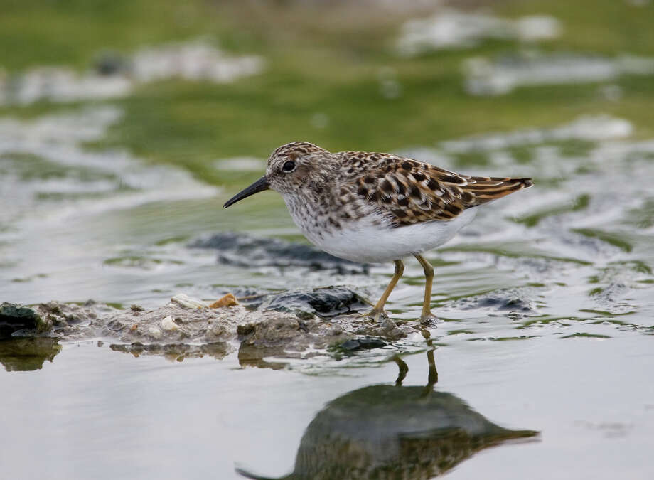 A least sandpiper, one of the thousands of shorebirds in the area on the annual fall migration, pauses to feed at the Bolivar Flats Shorebird Sanctuary on the Bolivar Peninsula. Photo: Kathy Adams Clark, Freelance / Freelance