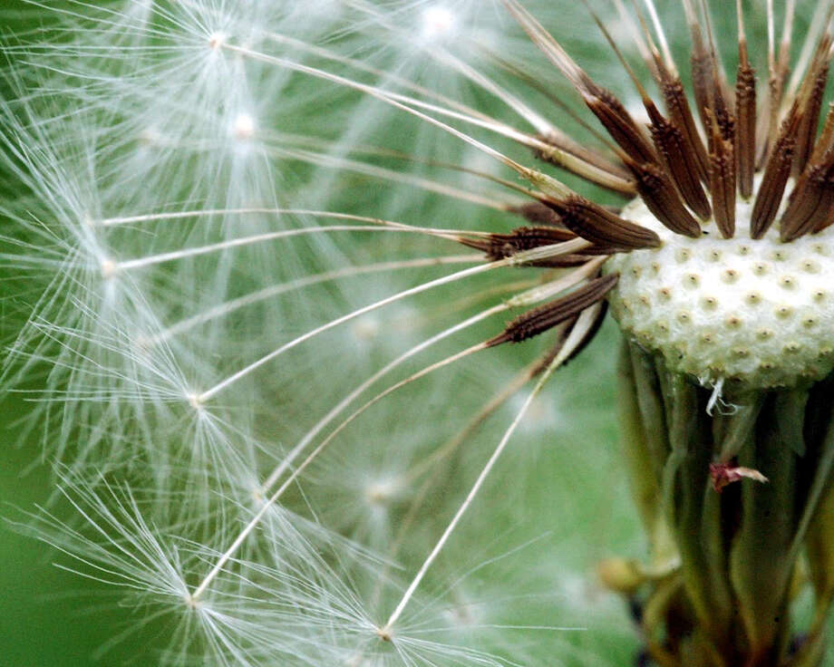 Detail of a Dandelion. Friday, March 20, 2015 was the first day of spring and experts said it likely won't be long before many state residents are plunged into the depths of spring allergies. Photo: Kerry Sherck / Stamford Advocate File