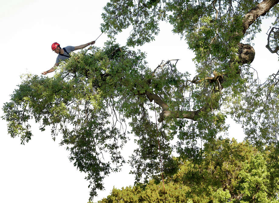 North American tree-climbing champion Chad Brey trims a dead branch on a valley oak in Woodside. Photo: Carlos Avila Gonzalez / The Chronicle / ONLINE_YES