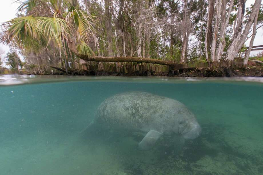 A West Indian manatee swims in the Three Sisters Springs in the Crystal River National Wildlife Refuge near the Gulf of Mexico. Photo: Carlton Ward Jr., HONS / FloridaWildlifeCorridor.org