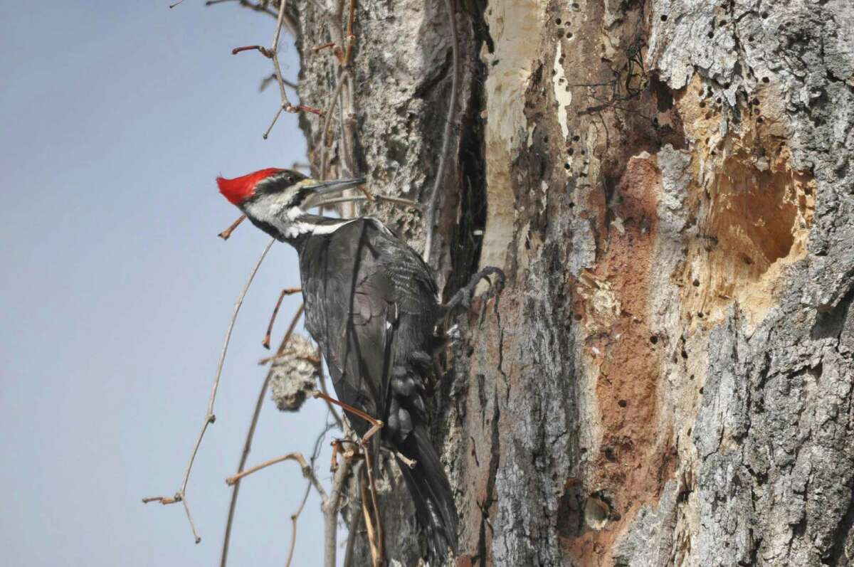 A pileated woodpecker clings to the side of a dead tree the bird is pecking, in New Ashford, Mass., on Sunday, March 22, 2015.
