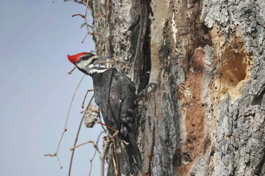 A pileated woodpecker clings to the side of a dead tree the bird is pecking, in New Ashford, Mass., on Sunday, March 22, 2015. Photo: Gillian Jones, AP / The Berkshire Eagle