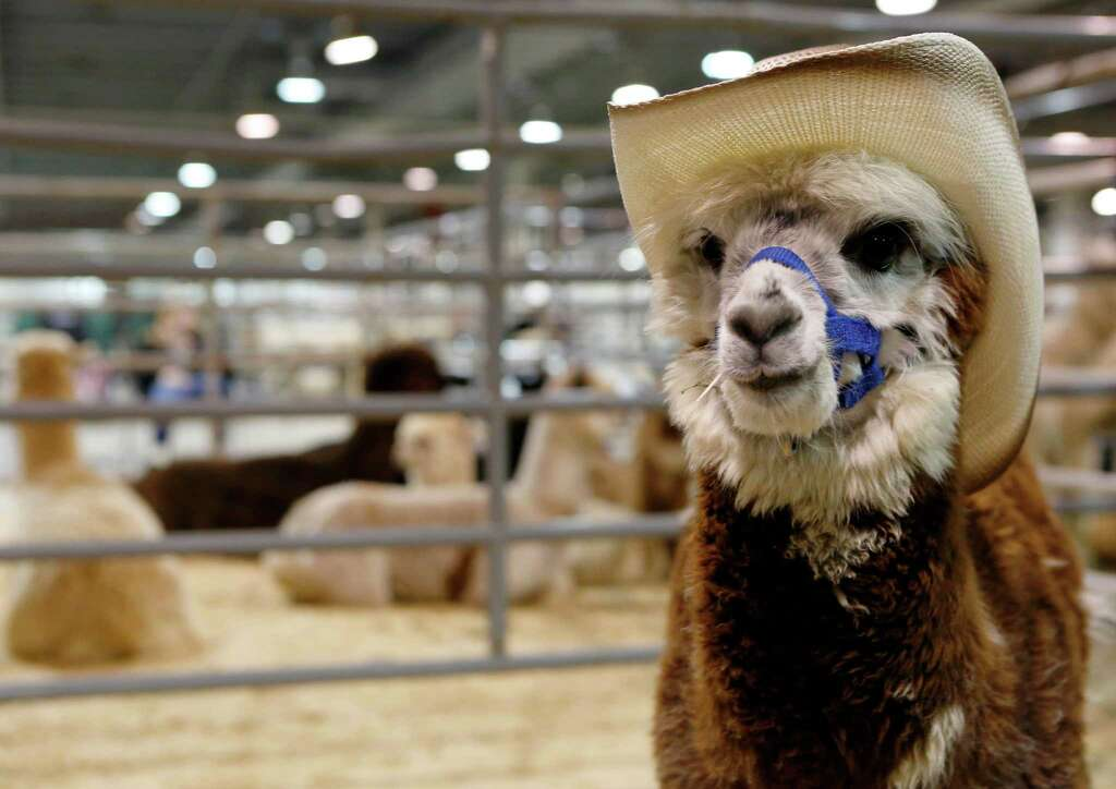Adorn animals with cowboy hatsThis alpaca has a stronger cowboy game than many of the RodeoHouston attendees. Photo: Jon Shapley, Houston Chronicle / © 2015 Houston Chronicle