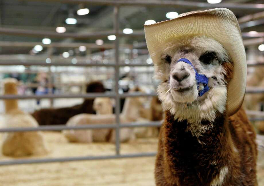 An alpaca chews on a toothpick during the Open Alpaca Costume Show at the Houston Livestock Show and Rodeo Sunday, March 22, 2015, in Houston. Photo: Jon Shapley, Houston Chronicle / © 2015 Houston Chronicle