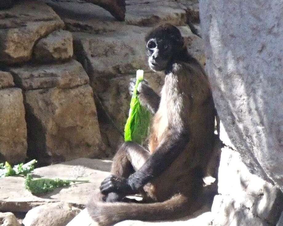 Billy the Spider Monkey was euthanized March 14, 2015, after suffering from severe kidney failure and suspected bladder cancer. The 28-year-old male monkey was popular with guests and zoo keepers. Photo: Courtesy Of San Antonio Zoo / Courtesy Of San Antonio Zoo