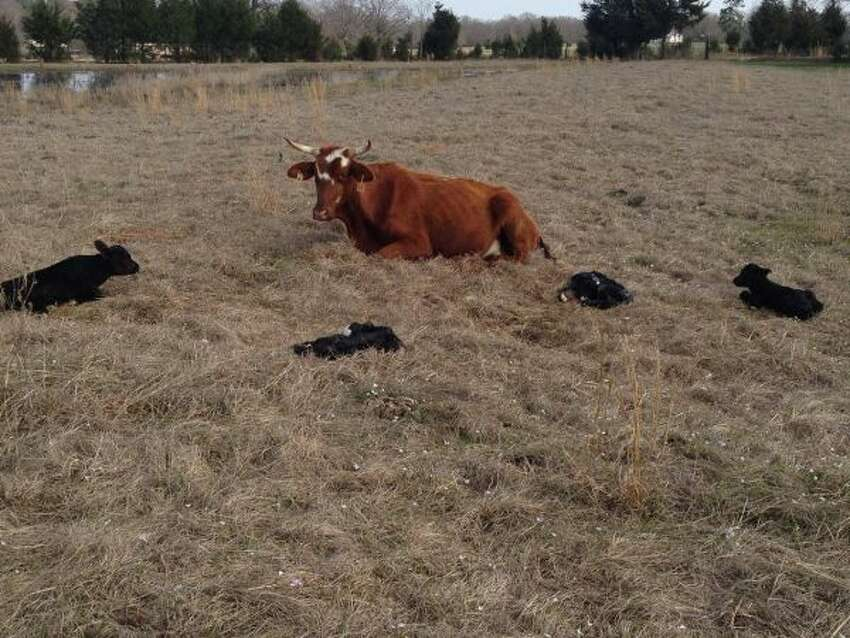 A cow in De Kalb gave birth to four healthy calves recently. This is a rare event for cattle.