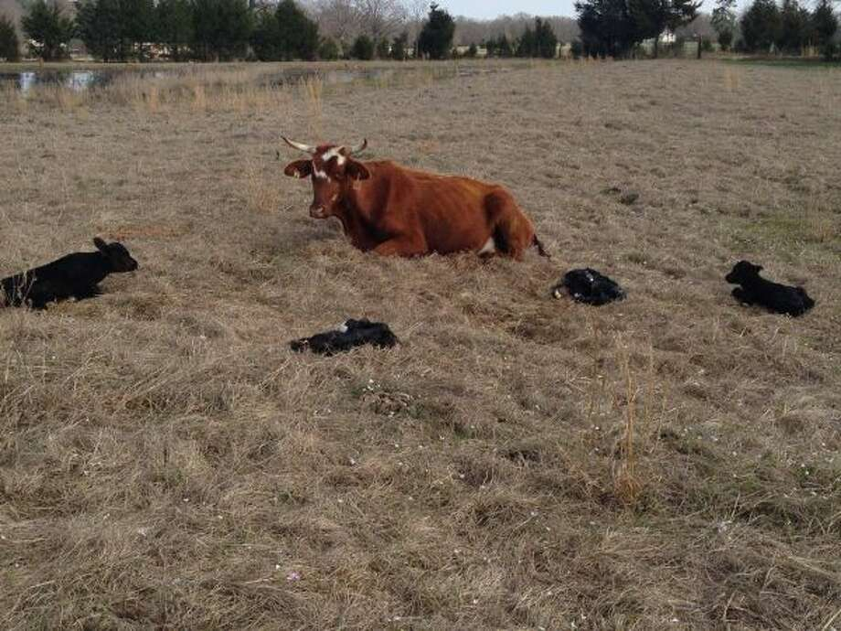A cow in De Kalb gave birth to four healthy calves recently. This is a rare event for cattle. Photo: Courtesy Photo/Dora Rumsey-Barling