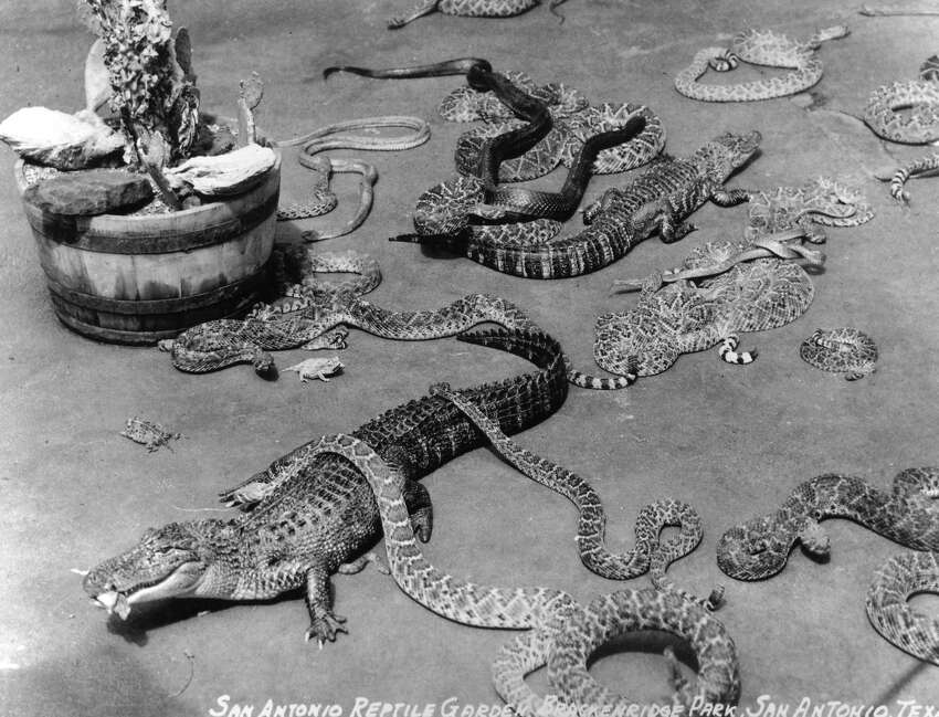Alligator Garden Alligators, snakes and horned toads all shared space at the Reptile Gardens in Brackenridge Park. The Reptile Garden opened in 1933, and the Alligator Garden replaced it in 1950. The city operated it until it closed in 1975.