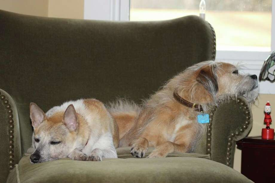 Rusty the San Antonio Miracle Dog (left) relaxes with his new brother, Mugsy, at their home in New Hampshire. Photo: Courtesy Photo