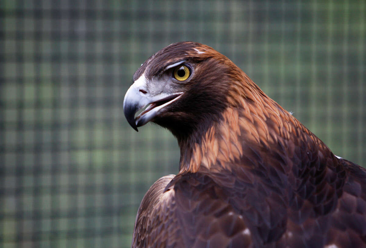 A golden eagle with a permanently disabled wing, believed to be caused by a wind-power turbine, perches in an enclosure maintained by Native Bird Connections.