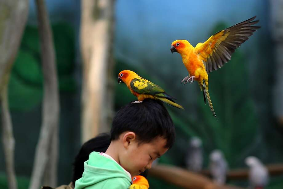 This picture taken on March 21, 2015 shows a parrot standing on the head of a child in the Kunming Zoo in Kunming, southwest China's Yunnan province.  Photo: Str, AFP / Getty Images
