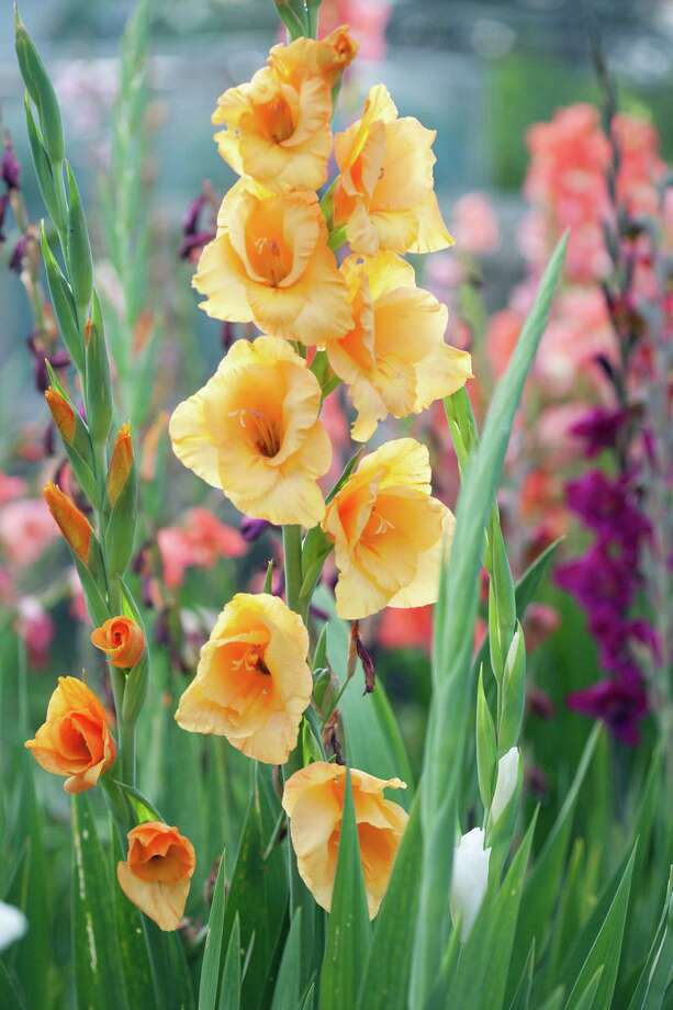 Spread planting over a couple of weeks to get a longer bloom time from gladiolus. Photo: Getty Images / Dorling Kindersley