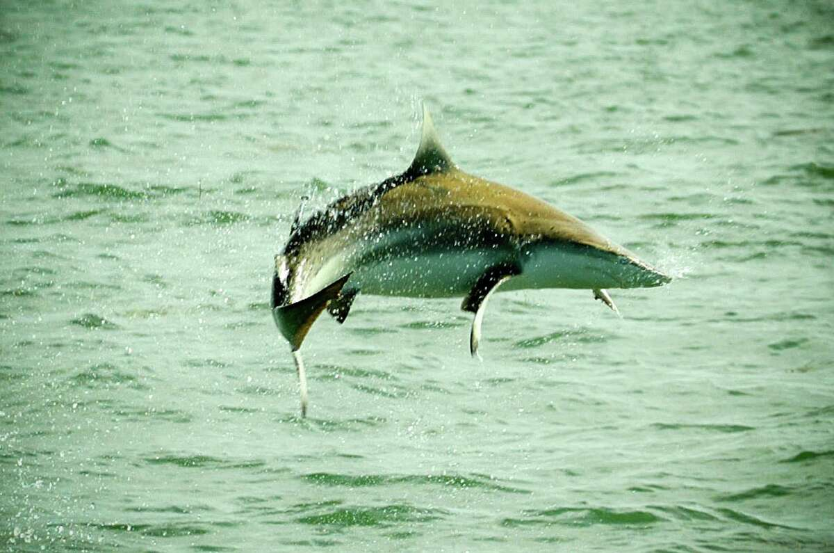A Spinner shark, like those seen in the coastal Louisiana feeding frenzy, jumps out of the water during a Florida Keys fishing trip on May, 2005 in Islamorada, Florida.