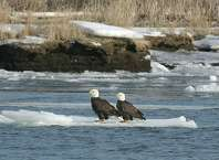 Some bald eagles take a break on a floating perch. The season has finally arrived for the Connecticut Audubon Society EcoTravel's eagle boat cruises, which begin this weekend. Reservations are required for the two-hour journeys, which launch from Haddam, Conn. Call 860-767-0660. Contributed photo/Mark Yuknat