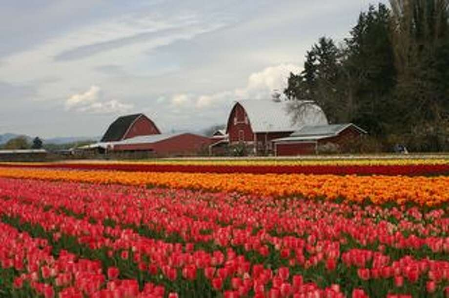 Skagit Valley Tulip Festival:All of April
