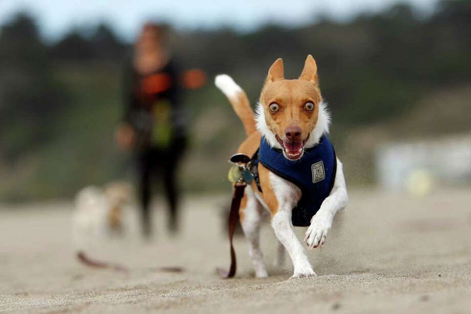 Tucker, one of the dogs that dog walker Victoria Millan, owner of Bonesy, walks, runs free on Ocean Beach in San Francisco, Calif., on Tuesday, March 24, 2015. During walks, Millan lets her dogs run free on the less busy parts of the beach.at Ocean Beach in San Francisco, Calif., on Tuesday, March 24, 2015. Photo: Scott Strazzante / The Chronicle / ONLINE_YES