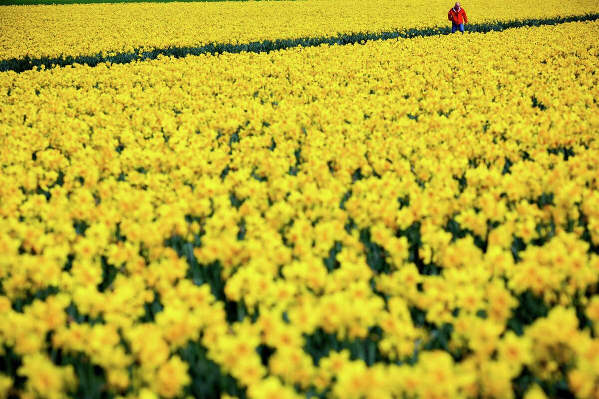 Millions of yellow daffodil tops sway in a light spring breeze at the annual