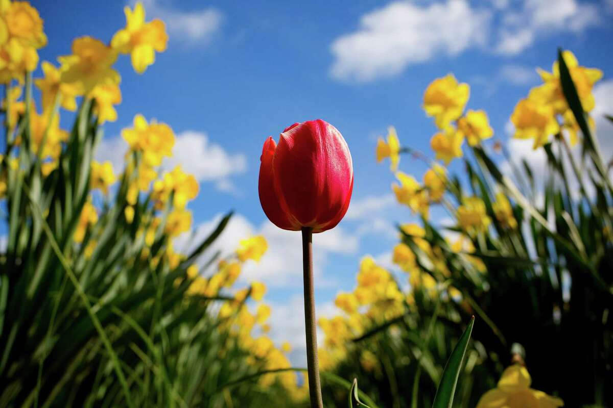 Backed by thousands of yellow daffodils, a lone, red tulip stands out in stark color during the annual