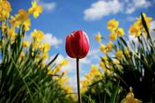 """Backed by thousands of yellow daffodils, a lone, red tulip stands out in stark color during the annual """"unofficial"""" La Conner Daffodil Festival Tuesday, March 24, 2015, near La Conner, Washington. Daffodil crops are rotated every 3 years, versus a yearly rotation for tulips. Fields that are 3 years old this year will be a solid wash of bright yellow. The blooming concludes by early April."""
