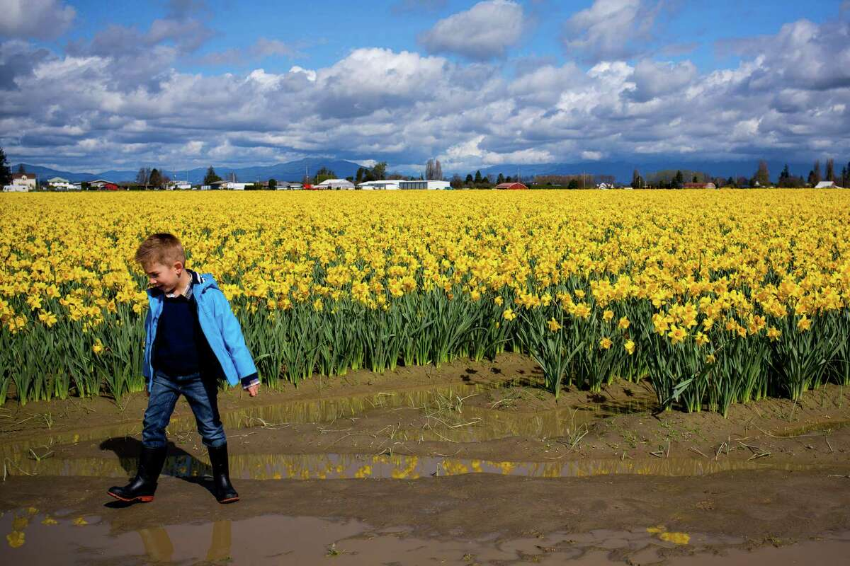 Spring is full of flowers in the Pacific Northwest, but the first to bloom are usually daffodils. Although these golden trumpets bloom earlier than their tulip counterparts, the town of La Conner, Washington still celebrates the breathtaking displays during the7th annual Daffodil Festival which is held all throughout March. Daffodil crops are rotated every 3 years, versus a yearly rotation for tulips. Fields that are 3 years old this year will be a solid wash of bright yellow. The blooming concludes by early April.