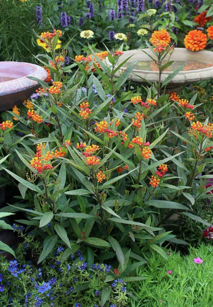 Milkweed (Asclepias Curassavica) Photo: Annieu0027s Annuals And Perennials /  ONLINE_YES