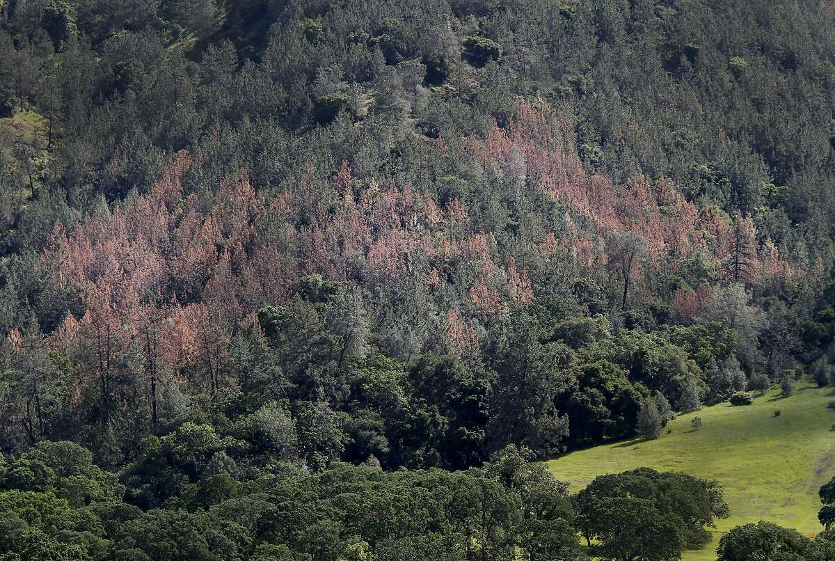 The dying pine trees are turning brown on the eastern slope of Mount Diablo Monday March 23, 2015. A large number of Coulter Pines are dying and stressed on the eastern slopes of Mount Diablo in Clayon, Calif. because of the drought and bark beetles.