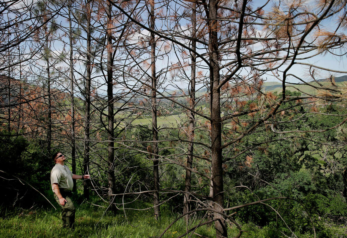California Parks Superintendent Ryen Goering looked up at a stand of dying pine trees on the eastern slope of Mount Diablo.